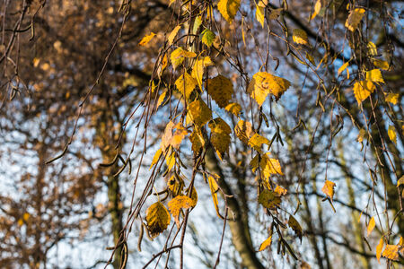 Twigs, catkins and leaves hanging on the Birch tree in the autumnal sunlight  photo