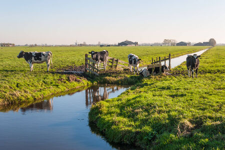 Black and white cows in a Dutch polder landscape with a ditch and a wooden fence. photo