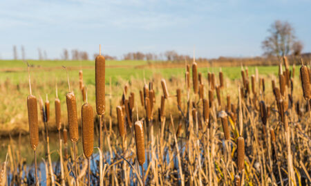broad leaf: Detailed view at brown blooming Broad leaf Cattail or Typha latifolia against its natural
