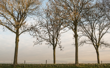 Tall trees in the fall season at the edge of a dike in the Netherlands. photo