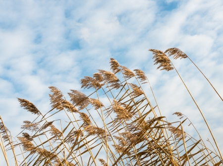 Closeup of flowering reed stems against a blue sky and bending in the strong autumn wind.