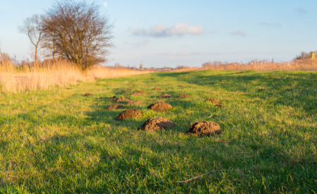 These molehills are more noticeable in the grass because of the low sun and the golden glow
