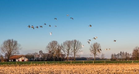 Geese flying away above a stubble field in the low sunlight of the late afternoon in winter  photo