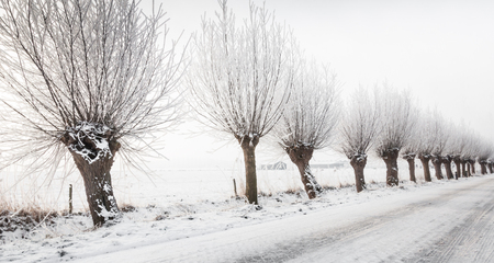 pollard willows: Winter in a Dutch street covered with snow with a row of pollard willows with hoarfrost next to it. Stock Photo