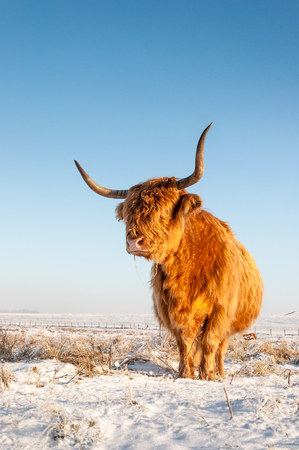 Red haired Highland cow in winter coat standing in the snowy landscape of a Dutch nature area. photo