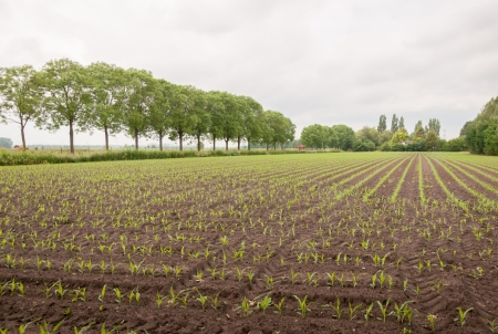 Young silage maize plants and trees in rows during springtime. photo