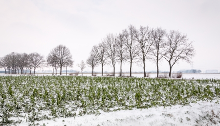 In the foreground an agricutural field with snowy crops and in the background a row of bare trees outlined as silhouettes against the gray sky