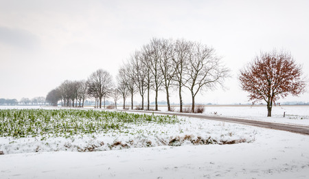 In the foreground an agricutural field with snowy crops and in the background a row of mainly bare trees next to a small country road outlined as silhouettes against the gray sky  photo