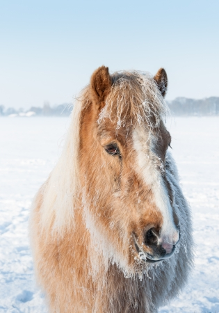 Closeup of the head of a sadly looking brown horse standing in the snow on a very cold day in wintertime. photo