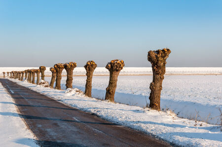 Recently pruned old willow trees in a row next to an asphalt  country road in wintertime.