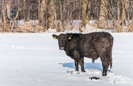 wondered: Black Angus bull in winter fur wondered looking around standing at the newly fallen snow on the meadow.