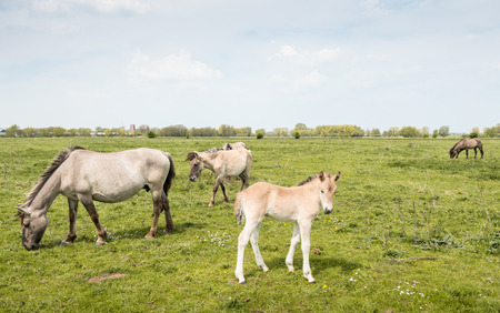 Konik foal standing on the grass between mature horses p Stock Photo - 25840872