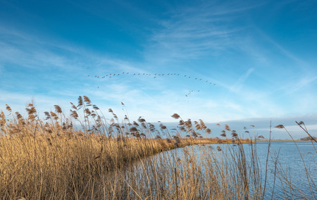 swaying: Narrow piece of land with a fringe of swaying already been in a river and  contrasting against a blue sky Greylag geese flying in a flight formation. Stock Photo