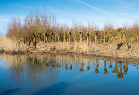 Pollarded willows and their reflections in the mirror smooth water surface of the water on a sunny day in the winter season.