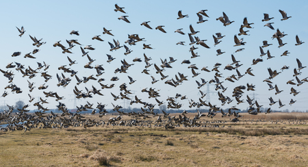 fleeing: Large group of Barnacle Geese or Branta leucopsis flying away above a Dutch polder area at the beginning of spring.