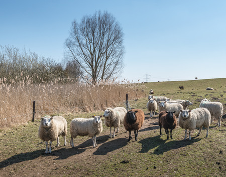 curiously: Backlight picture of curiously looking sheep in a Dutch polder landscape at the end of the winter season. Stock Photo