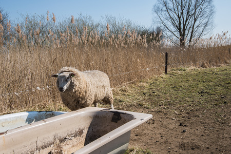 Lonely and dehydrated sheep in winter coat looks in vain at dried bathtubs standing at the edge of the meadow. photo