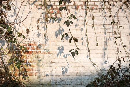 A hanging bramble and its shadows decorate the old white plastered wall garden on a sunny spring day. photo