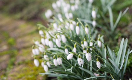 White blooming and budding Snowdrop or  Galanthus nivalis bulbs in the winter season. photo