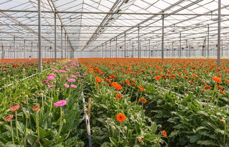 Een grote kas in Nederland vol bloeiende Gerbera snijbloemen in verschillende kleuren klaar te plukken. Stockfoto
