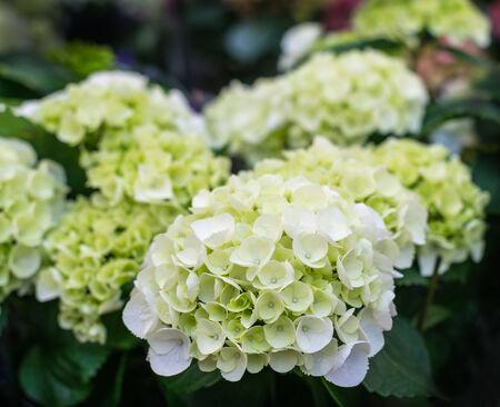 bigleaf hydrangea: Closeup of white flowering Hydrangea plants in a Dutch plant nursery.