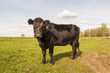 Lonely black cow in a Dutch nature resewrve curiously looking on a sunny day in springtime. Stock Photo - 26822301