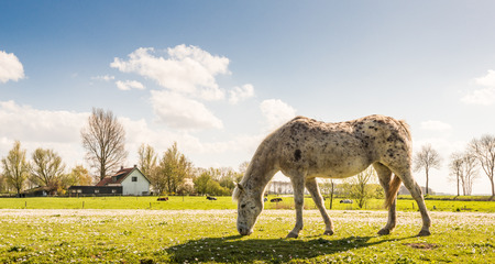 Gray spotted horse looking at the blooming daisies in the meadow in the spring season. photo