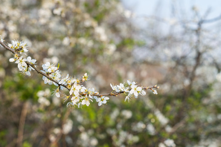 sugarplum: White blooming and budding branches of an Amelanchier or Shadbush shrub against its blurred natural background.