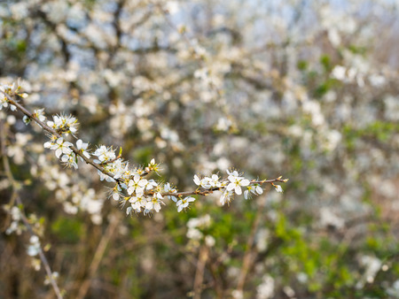 White blooming and budding branches of an Amelanchier or Shadbush shrub against its blurred natural background. Stock Photo - 26963122