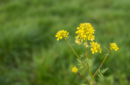 arvensis: Yellow budding and flowering Wild Mustard or Sinapis arvensis against it blurred natural habitat.