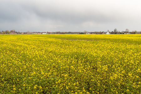 arvensis: Yellow blooming Field Mustard or Sinapis arvensis at the edge of a Dutch village in springtime.