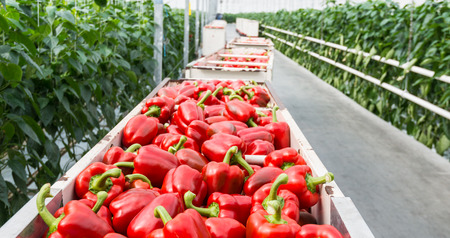 Full carts with just harvested red peppers in the corridor of a Dutch pepper nursery  Stockfoto