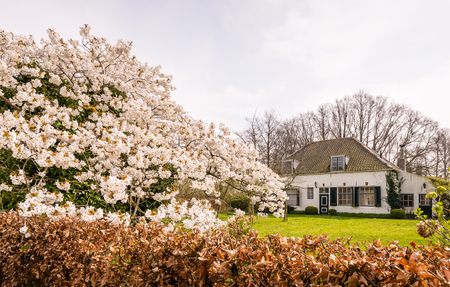 Old Dutch mansion tucked behind lush blossoming Japanese cherry and beech hedge with brown leaves from the previous season