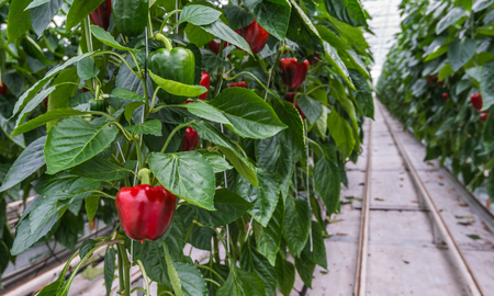 Substraatteelt van Red Peppers of Capsicum annuum in een Nederlandse kas Stockfoto - 27289213