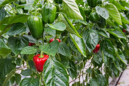 Hydrocultuur teelt van rode en groene paprika of Capsicum annuum in een Nederlandse kas