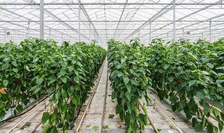 Substraatteelt van Red Peppers of Capsicum annuum in een Nederlandse kas