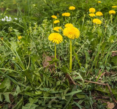 Close-up van gele bloeiende Paardenbloemen of Taraxacum planten in de lente in hun natuurlijke habitat. Stockfoto