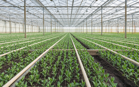 Large greenhouse full of small Lisianthus plants  photo