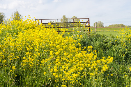 arvensis: Yellow blooming Wild Mustard and a rusty gate on a sunny day in springtime
