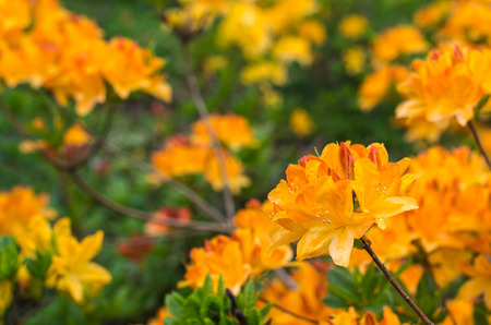 mollis: Twigs with orange and yellow colored blossoms of a Japanese Azalea or Rhododendron molle subsp. japonicum shrub in a park. Stock Photo