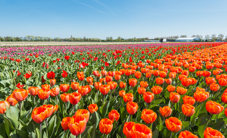 Colorful field with blooming tulips in different colors on the outskirts of a Dutch village  photo