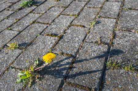 Yellow blooming dandelions growing between paving  photo