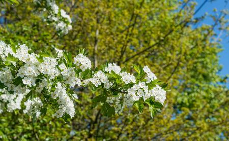 crata�gus: Hawthorn Crataegus o arbusto con flores blancas y un cielo azul en la temporada de primavera Foto de archivo