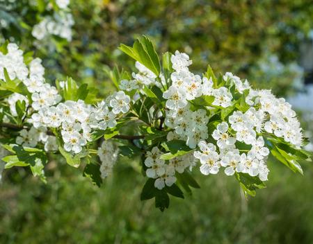 crata�gus: Hawthorn Crataegus o arbusto con flores blancas en la temporada de primavera Foto de archivo