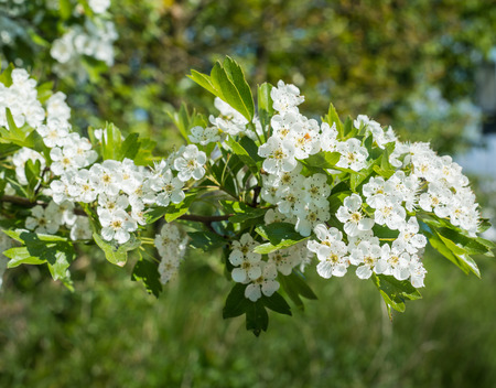 Hawthorn or Crataegus shrub with white blossoms in the early spring season