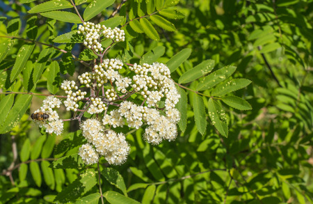 Budding and blossoming European Rowan or Sorbus aucuparia with a bee in springtime  photo