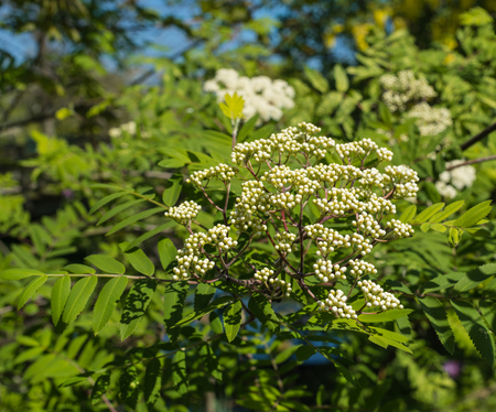 Budding and blossoming European Rowan or Sorbus aucuparia in springtime  photo