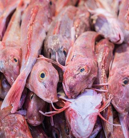 seafish: Stacked red Tub Gurnard or Chelidonichthys lucerna-sea fish from the North Sea in the Dutch market stall