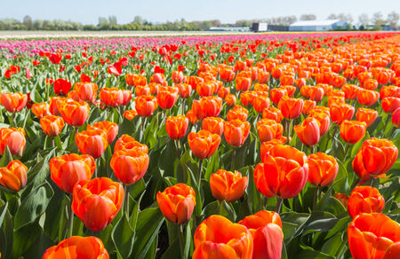 Colorful field with blooming tulips in different colors. photo