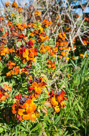 Closeup of sweet-smelling orange wall flowers or Erysimum cheiri in the spring season. photo